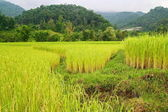 Rice fields and mountain range, Thailand — Stockfoto