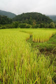 Paddy field and mountain — Stock Photo