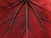 Macro red leave texture — Stock Photo