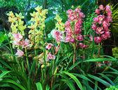 Colorful cymbidium orchids — Stock Photo
