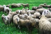 Sheep in field — Stock Photo