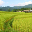 Stock Photo: Rice fields view, Thailand