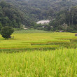 Step paddy field — Foto de Stock