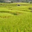 Stock Photo: Terraced rice fields and small house