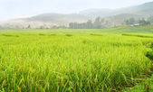 Terraced paddy field , Thailand — Stock Photo
