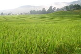 Terraced rice fields with mist view, Thailand — Stock Photo