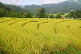 Organic rice field in Thailand — Stockfoto
