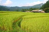 Rice fields view, Thailand — Stock Photo