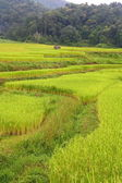 Terraced paddy fields, Chaing Mai,Thailand — Stock Photo