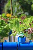 Green oak in vegetables hydroponics farm — Stock Photo