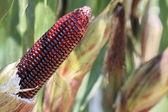 Macro purple corn in garden — Stock Photo