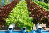 Hydroponics vegetable farming , fresh vegetable — Stock Photo