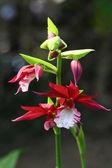 Close-up vermelha orquídea no jardim — Fotografia Stock