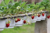 Close up red strawberry in garden — Stock Photo