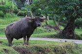 Water buffalo standing in field, Thailand — 图库照片
