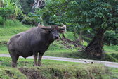 Water buffalo standing in field, Thailand — Stock Photo