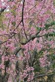 Pink sakura flower tree background — Stock Photo