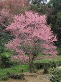 One sakura tree in forest — Stock Photo