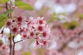 Close up pink sakura background — Stock Photo