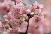 Close up detail pink sakura — Stock Photo