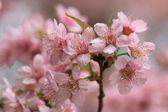 заделывают детали розовая сакура — Стоковое фото