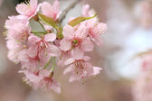 Close up detail pink sakura — Stockfoto