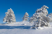 Pine in snow — Stock fotografie
