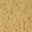 Wheat crop — Foto Stock
