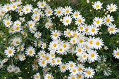 Camomile 2 — Stock Photo