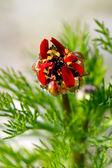 Spring peony — Stock Photo
