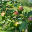 Apples in appletree. Close up to branch and apples. — Stock Photo