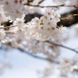 White cherry blossoms before blue sky close up — Stock Photo #29472943