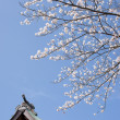 Sakura at shinto shrine in Japan — Stock Photo