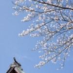 Sakura at shinto shrine in Japan — Stock Photo