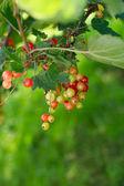 Rå och mogna röda vinbär — Stockfoto