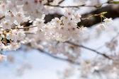 White cherry blossoms before blue sky close up — Stock Photo