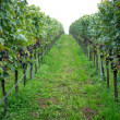 Grape in vineyard. — Stock Photo #33533121