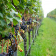 Grape in vineyard. — Stock Photo #33533301