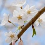 White cherry blossoms close up. — Stock Photo #40247051