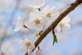White cherry blossoms close up. — Stock Photo