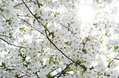 Gentle white flowers on fruit tree — Stock Photo