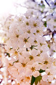 Cherry blossoms over blurred nature background — Stock Photo