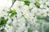 Cherry blossom in the spring — Stock Photo