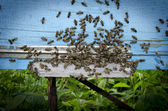 Honey bees at entrance of beehive — Stock Photo
