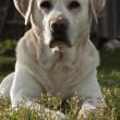 Labrador retriever — Stockfoto #29252497