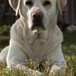Labrador retriever — Stock Photo