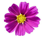 Purple daisy — Stock Photo