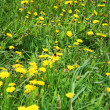 Stock Photo: Beautiful green field with lot of yellow dandelions (taraxacum o