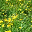 Beautiful green field with lot of yellow dandelions (taraxacum o — Stock Photo #28606159