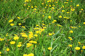Beautiful green field with lot of yellow dandelions (taraxacum o — Stock Photo